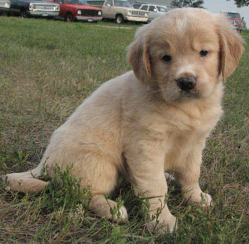 Mini Golden Retriever | www.pixshark.com - Images ...